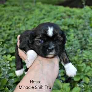 This is Hoss, a 3-week-old Shih Tzu available at Miracle Shih Tzu
