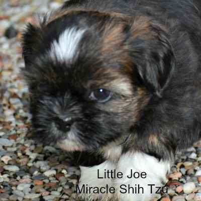 Shih Tzu Puppy from a previous litter