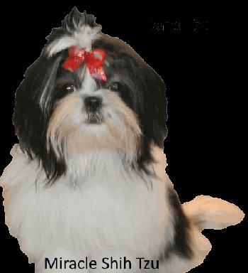Dana, a Black and White Shih Tzu Dog