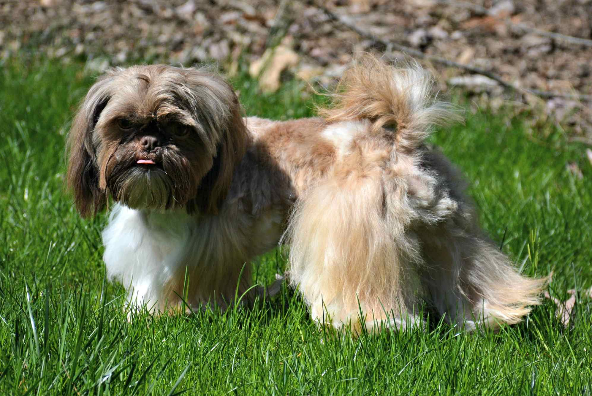 Cleaning Shih Tzu Ears: A complete Tutorial