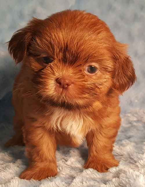 This lovely red Shih Tzu puppy would see,