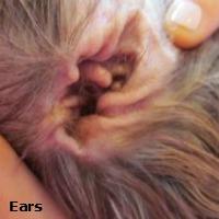 Shih Tzu Ears