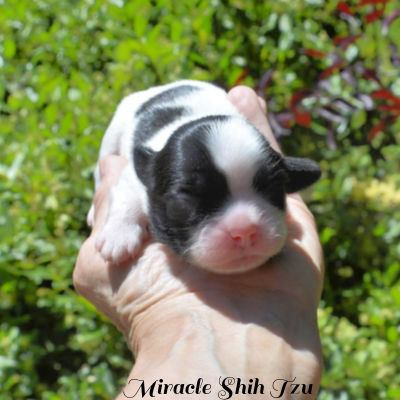 Face and back of a four day old Shih Tzu male who is black and white.