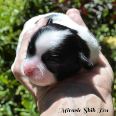 Face of a four day old Shih Tzu male showing the head