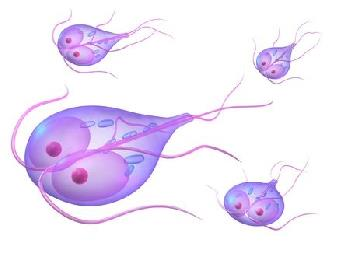 The trophozoite is mobile and lives in the small intestine of its host.