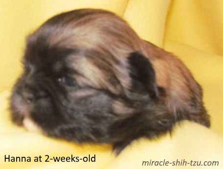 Shih Tzu Hair Color Changes: Wonder Why These Changes Occur?