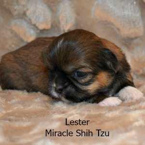 Lester, Shih Tzu Baby Boy