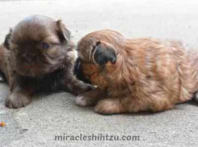 Two Shih Tzu girl puppies for sale