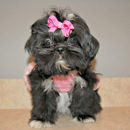 Tiny Shih Tzu Girl