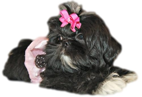 Small Imperial Shih Tzu
