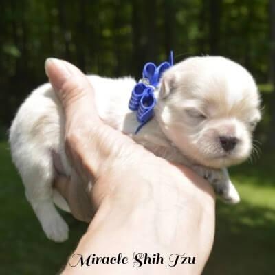 White Male Shih Tzu Puppy