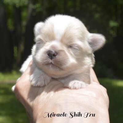 Female Shih Tzu Puppy