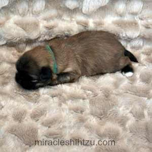 Male Shih Tzu Puppy for Sale near Cleveland Ohio