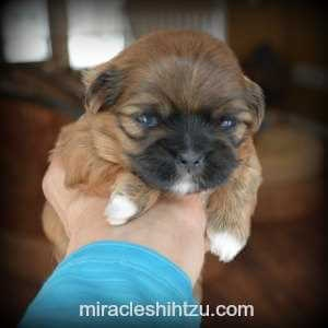 Red - Brindle Shih Tzu Boy available in NE Ohio