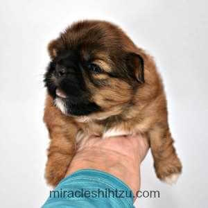 Two Week Old Shih Tzu Male Puppy