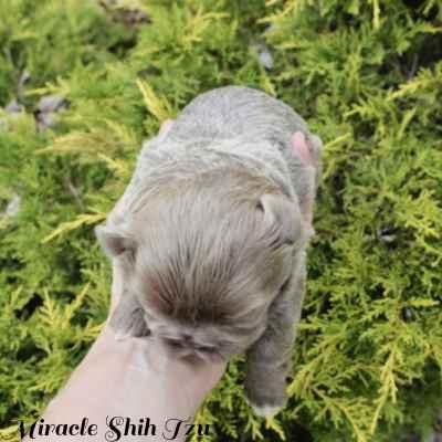 The Shih Tzu puppy is a solid colored Shih Tzu female.