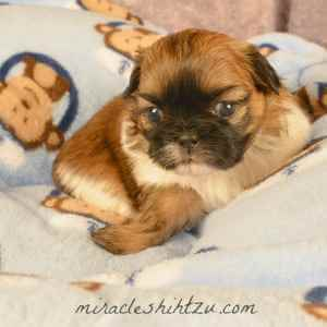 Male Shih Tzu Puppy, AtzLee 4