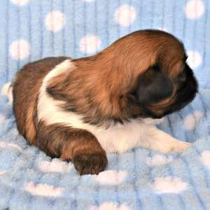 Red brindle and white Shih Tzu puppy facing right.