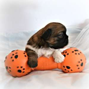 Red brindle and White Shih Tzu puppy holding a toy