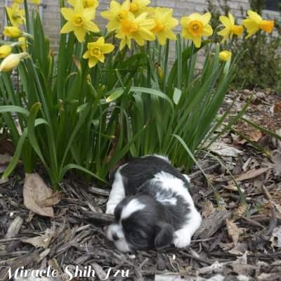 Blue and White Shih Tzu sitting in a flower garden