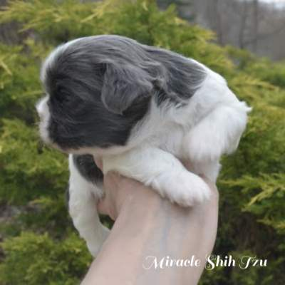 Blue and White Shih Tzu side view