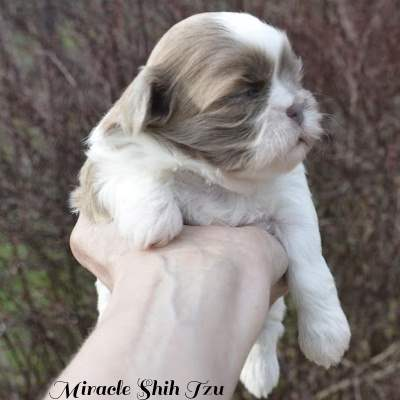Liver and white female puppy being held