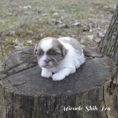Liver and white female puppy sitting on a tree stump
