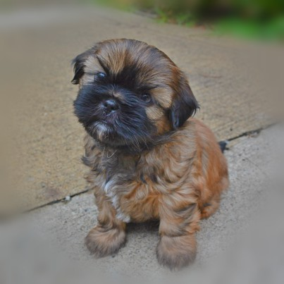 This is a past puppy of Miracle Shih Tzu