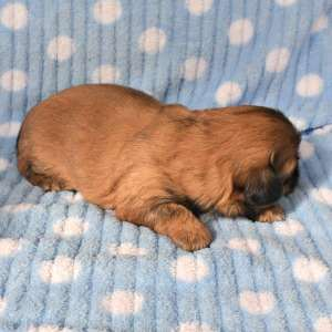 Side view of a two week old Shih Tzu puppy