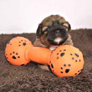 Red brindle Shih Tzu Puppy with toy