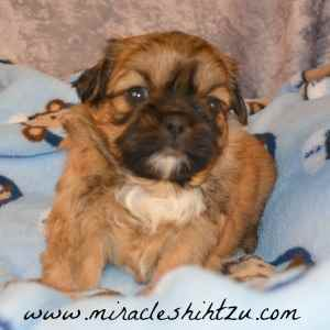 Male Shih Tzu Puppy Findlay 3