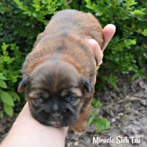 Two week old Shih Tzu female