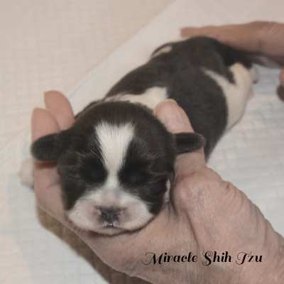 Female Shih Tzu Neonate