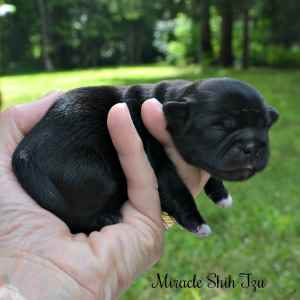 Black 2-day old female puppy