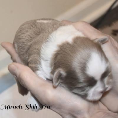 Shih Tzu one week old puppy