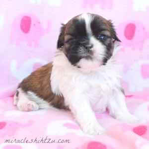 Female Shih Tzu Puppy 3