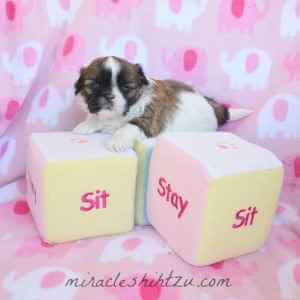 Female Shih Tzu Puppy 4
