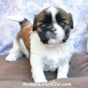 Female Shih Tzu Puppy2