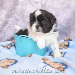 Male Shih Tzu Puppy, Otto 3