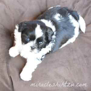 Male Shih Tzu Puppy, Otto 4