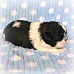 Shih Tzu Puppy Male Facing to the Right