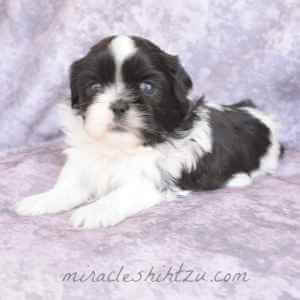 Male Shih Tzu Puppy, Otto 2