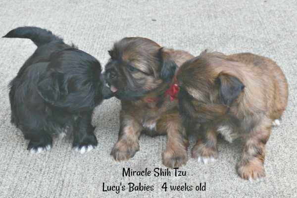 Four-week old puppies whelped at Miracle Shih Tzu