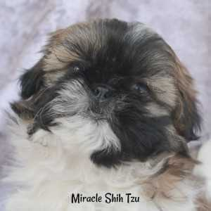 Gold and White Shih Tzu with Black Markings