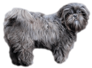 The Shih Tzu Moms of Miracle Shih Tzu