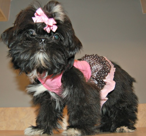 MeiLing is the mother of these puppies, a black with white markings female Shih Tzu.