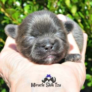 Blue Shih Tzu puppy at 8 days old available from Miracle Shih Tzu