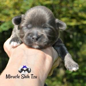 Solid blue Shih Tzu puppy at 8 days old.