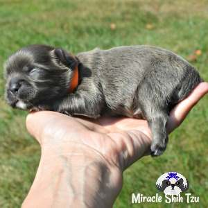 Tiny white patch on chin and paws is all the white showing on this blue male Shih Tzu puppy.