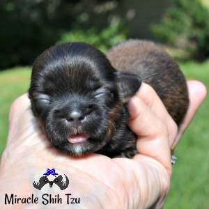 Coat coloring is brindle on this Shih Tzu baby.  His nose looks blue.